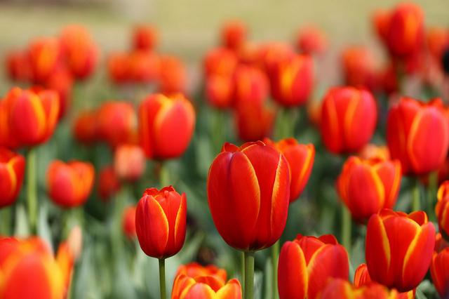 """""""Tulipomania"""": La journée nationale de la tulipe inonde Amsterdam de couleurs"""